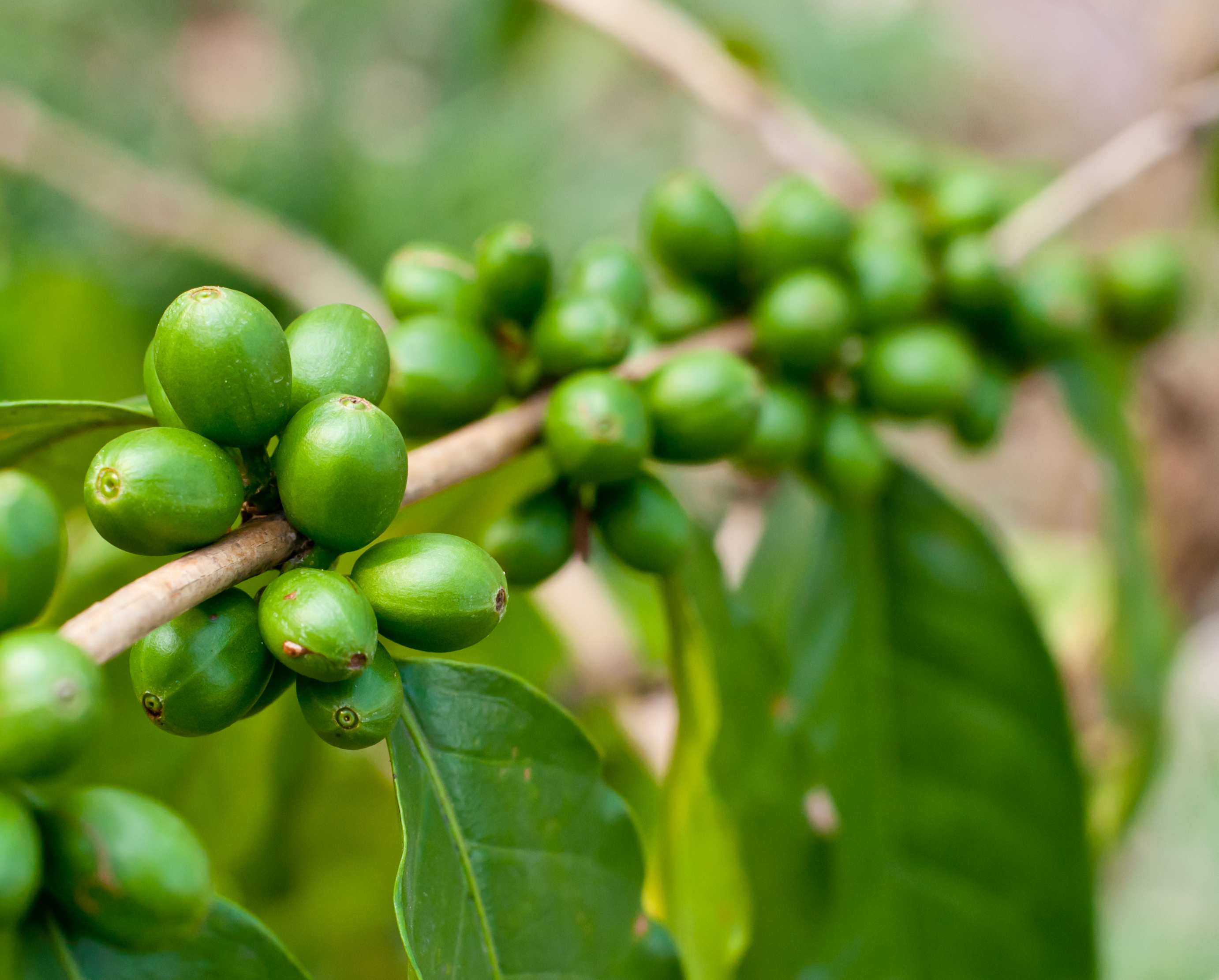 Lets Take A Closer Look At Green Coffee Bean Extract Not Larry